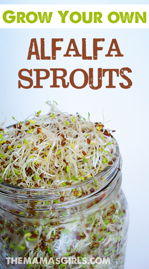 Grow Your Own Alfalfa Sprouts